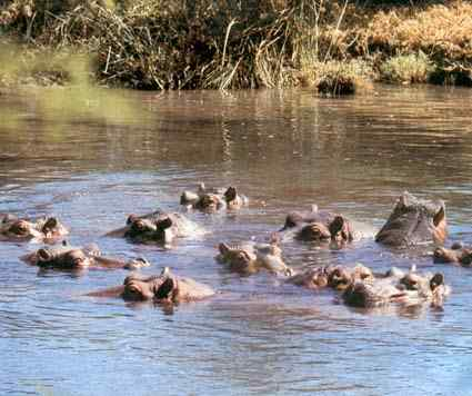 hippopotames.jpg
