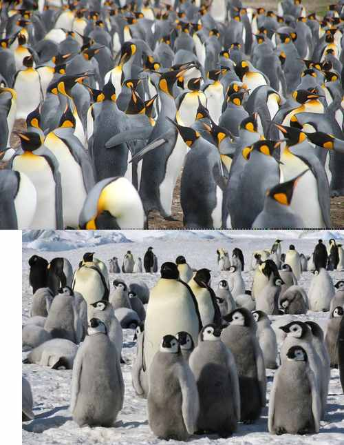 pingouinsmanchots.jpg