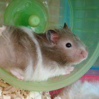 C'est le quatre cent quatrième fafiot! dans La recherche scientifique qui me trouve hamster